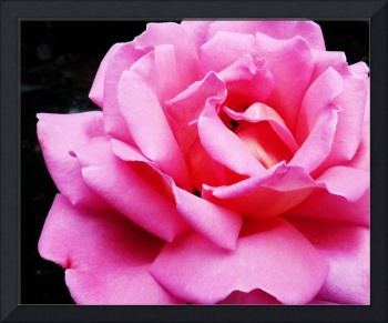 Pink Rose Flower  Photo 1