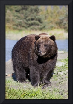 Brown Bear At The Alaska Wildlife Conservation Cen