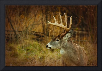 Profile of a 12 point White-tail