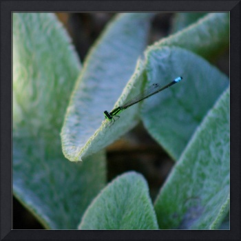 Blue-tailed Damselfly on Lamb's Ear plant