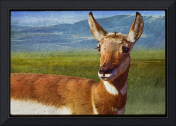 lady pronghorn