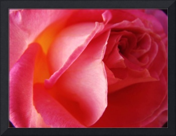 rose of pinkness