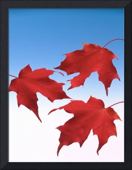 Three maple leaves.Three red maple leaves with blu