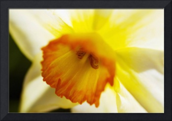 White Daffodil, Selective Focus On Flower Center