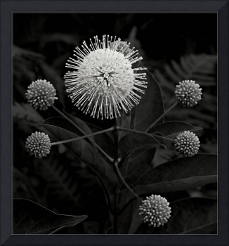 Button Bush in Black and White