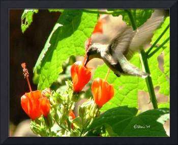 Hummingbird Drinking From Turks Cap 04