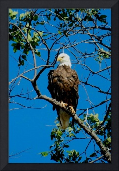 Mason Neck Bald Eagle