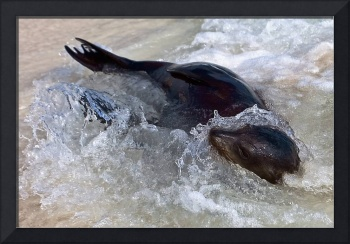 Baby Sea Lion playing in the waves - Galapagos