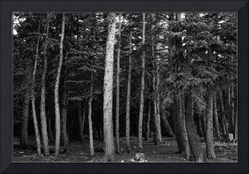 Forest Tree Views in Black and White