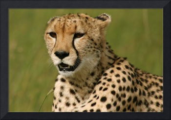 Cheetah on the Mara