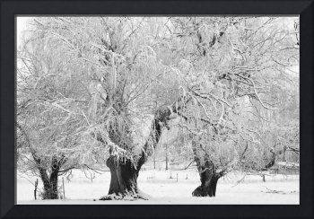 Three Snowy Trees