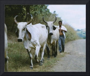 Mid adult man herding oxen on a dirt road