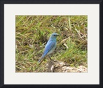 Male Mountain Bluebird P1150127 by Jacque Alameddine