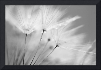 Black and White Dandelion with Water Droplets