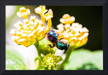 tropical bee showing blue and green color