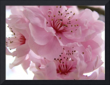 Tree Blossoms Pink Spring Blossoms Art Prints