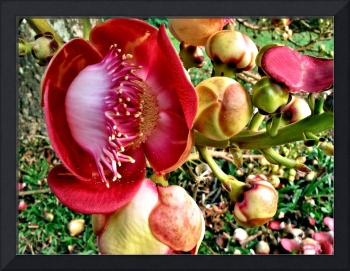 CANNONBALL TREE FLOWER, EDIT B