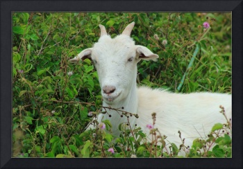 White Goat in Thorns