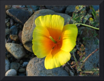 Golden Poppy at Sunset