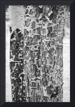 Elk Gnawed Horning Aspen Trees BW Fine Art Print