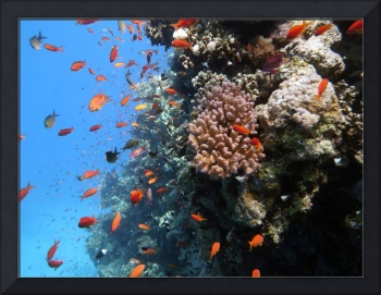 coral with anthias fish