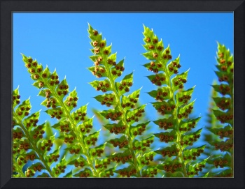 Ferns Fronds art prints Blue Sky Nature Baslee