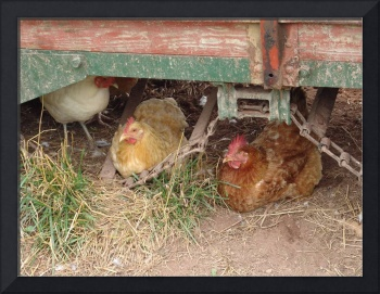 3 Chickens Roosting