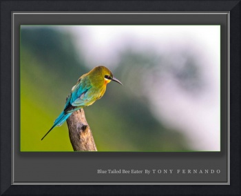 BLUE-TAILED BEE-EATER (MEROPS PHILLPPINUS)