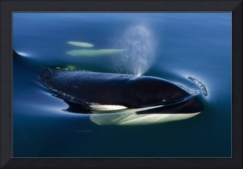 Orca Whale Surfaces In Lynn Canal, Inside Passage,