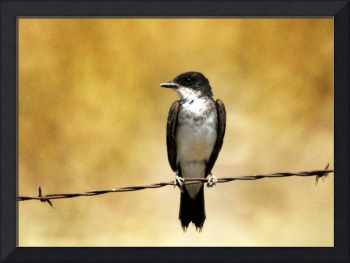eASTERN KINGBIRD SITS WIRE BEAR RIVER