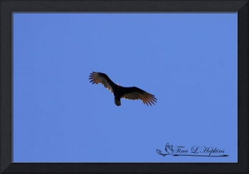 Turkey Vulture 20120429_220a