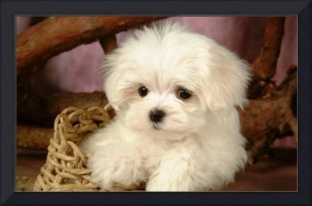 Adorable White Terrier Puppy In A Wicker Basket