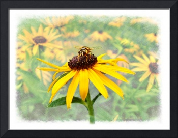 Bee on Blackeyed Susan