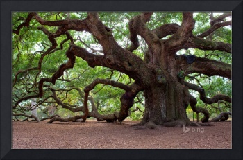 Angel Oak Tree, Johns Island, South Carolina