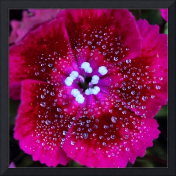Red Sweet William 2016_IMG_6793.square