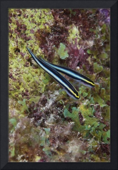 A pair of Sharknose Gobies, Bonaire, Caribbean Net