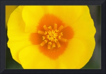 Desert Poppy Flower Blossom Interior