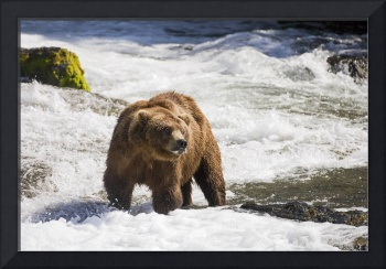 Male Grizzly standing in the Brooks river at Brook