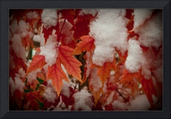 Maples Leaves with Snow