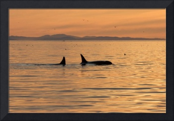 Orca whales at sunset (8675)