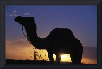 Silhouetted Camel At Sunset. Tunisia