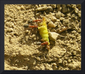 Ants Carrying Dinner Home