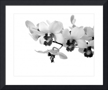 Green Dendrobiums in Monochrome