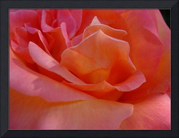 Close up of rose