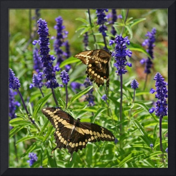 Butterflies   Giant Swallowtails (2)