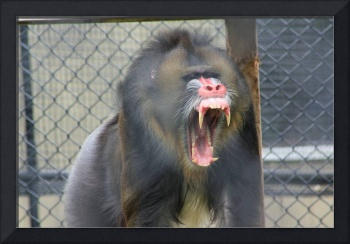 baboon (I bite you a little?)