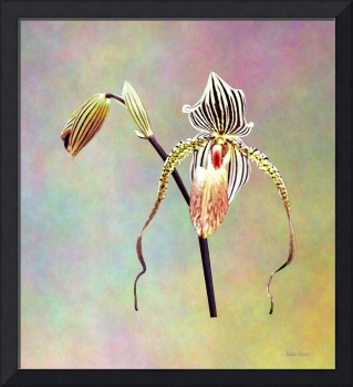 Paph Taiwan Orchid