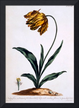 Tulip with Anoding Flower and Spear Shaped Leaves