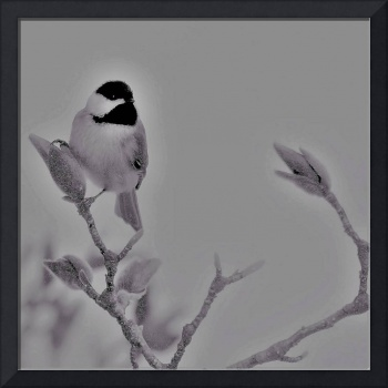Chickadee on Magnolia Buds