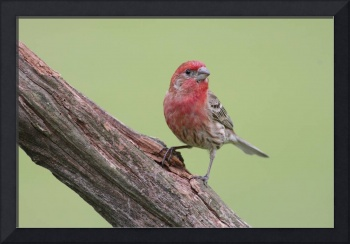 House Finch Photograph
